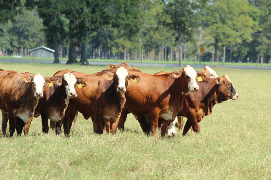 Woody Folsom Baxley >> For Sale - Circle F Farms - Brahman and F1 Cattle in GA